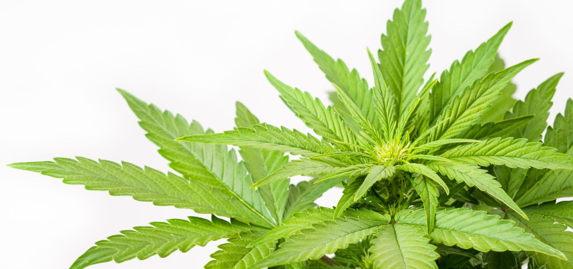 Marihuana a kulturystyka